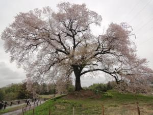 樹高17メートルの一本桜「わに塚の桜」